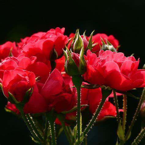 gambar bunga mawar beserta  menanam  arti