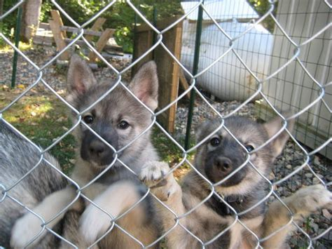 husky puppies for sale in nh beautiful keeshond husky puppies 250 for sale adoption from derry new hshire