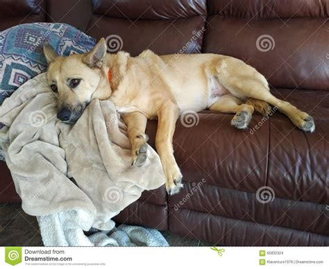dogs on the couch dog sleeping on couch stock photo image 65832324