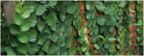 Tanaman Rambat Pohon Dollar Daun Besar tanaman rambat untuk pagar rumah rumah idolaku