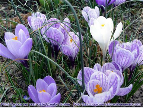 fiori crocus flora alpi orobie