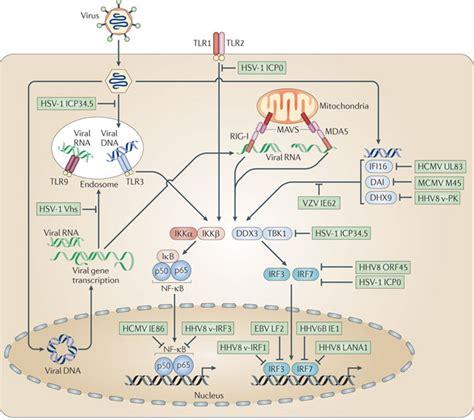 pattern recognition receptors multiple sclerosis herpesviruses and their immunity meons的日志 网易博客