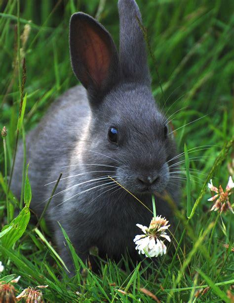 Grey Rabbits grey bunny andrew flickr