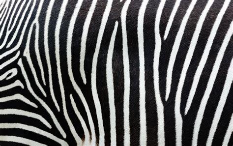 patterns in nature david pratt patterns in nature how the zebra got its stripes csiroscope