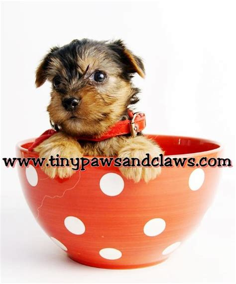 do yorkies dew claws registered