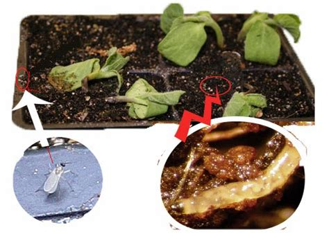 How To Get Rid Of Fungus Gnats Larvae In Houseplants Using
