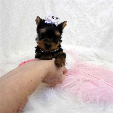 teacup yorkie for sale in missouri micro teacup terrier pup for sale teacup yorkies sale