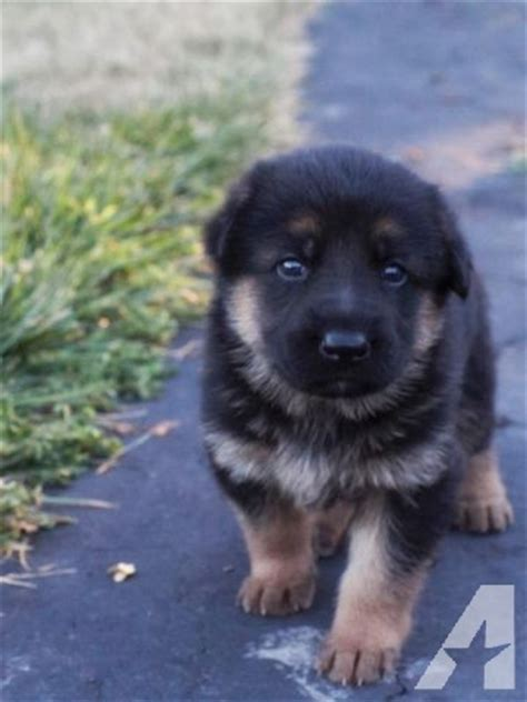 8 week german shepherd puppy german shepherd puppies for sale 8 weeks for sale in galt california classified