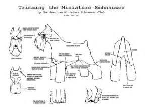 schnauzer hair cut step by step grooming chion miniature schnauzer mini schnauzer