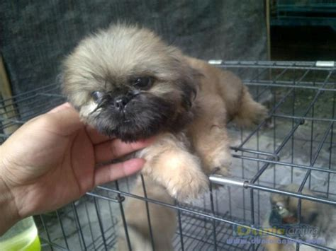 Mix Pesanan Ni80 Murah Meriah dunia anjing jual anjing pekingese pekingese betina