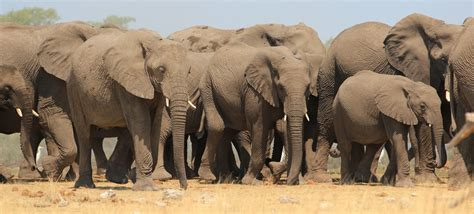 how to your to herd elephant herd planet bell