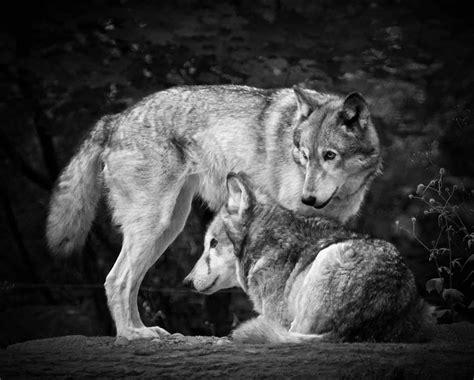 black and white wolves wallpaper black and white wolf 17 desktop wallpaper