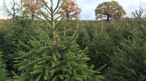 christmas tree shortage due to pests and disease central