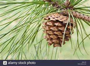 pine cone trees pine cone from pitch pine tree stock photo royalty free