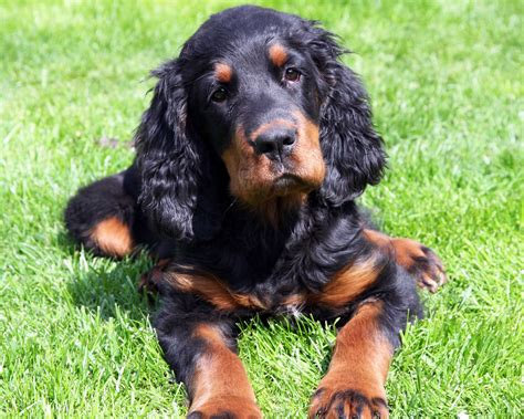 gordon settee gordon setter wallpapers hd download