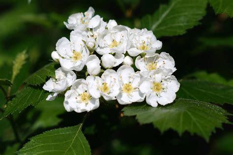 biancospino fiori biancospino fiori