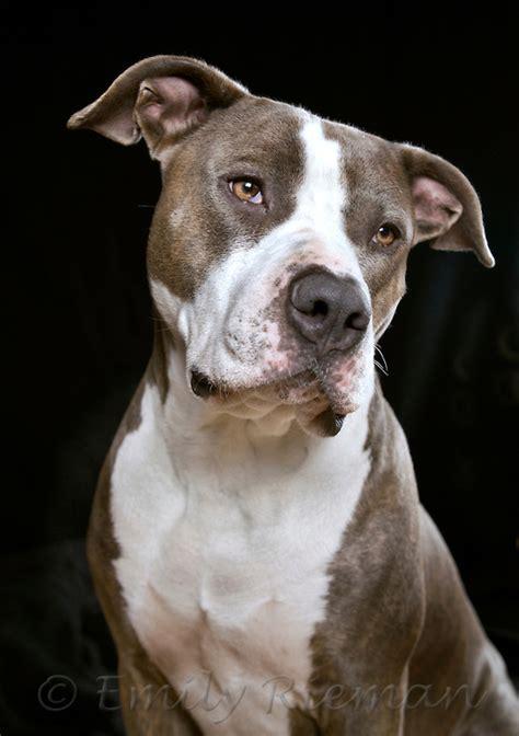 pitbull mastiff mix puppies brindle pit bull mastiff mix best friend photography by emily rieman