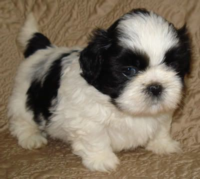 I Soooo Want This Only 25available At Seph by 25 Best Ideas About Shih Tzu For Sale On