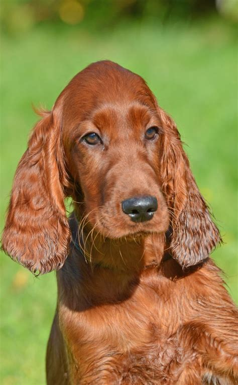 setter dogs for sale uk beautiful kc registered irish setter puppies sold