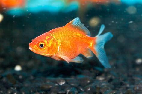 Don's Tips: Goldfish   Burke's Backyard