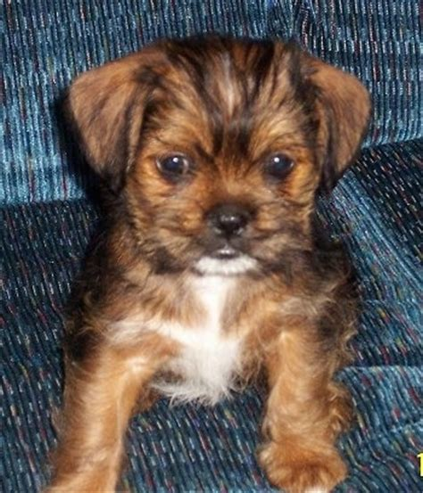 haired chihuahua and shih tzu mix shichi breed pictures 1