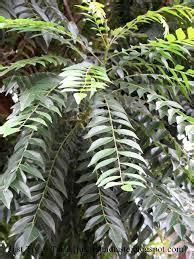 Tanaman Bumbu Daun Kari tanaman daun kari atau salam koja anget anget