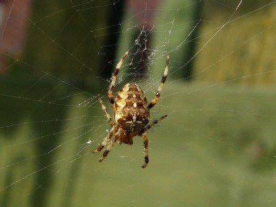 Garden Spider Lives 17 Best Images About Spiders In America On