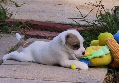 parson terrier puppies for sale parson terrier puppies for sale akc puppyfinder