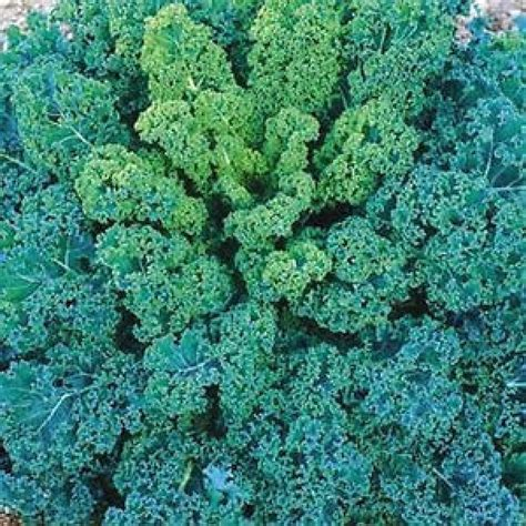 Seed Kale Curly 1 vates blue curled kale seeds brassica oleracea my lestary seeds