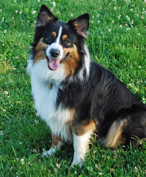 scout puppy scout the australian shepherd dogs daily puppy