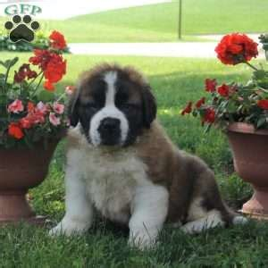 bernard puppies for sale in pa bernard puppies for sale in de md ny nj philly dc and baltimore
