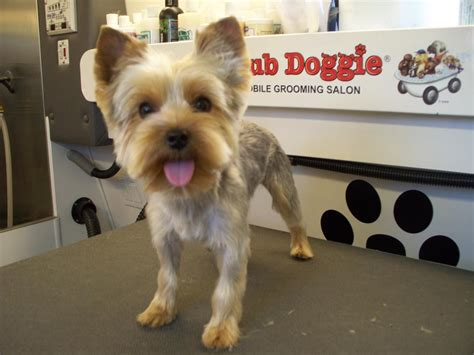 yorkie round face cut shear perfection yorkshire terriers little dogs big