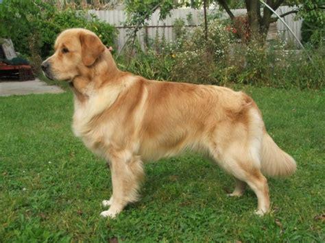 az golden retriever golden retriever kutya t 225 r