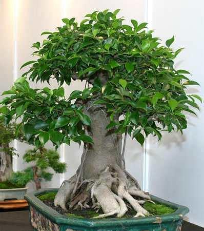 Ginseng Termahal bonsai