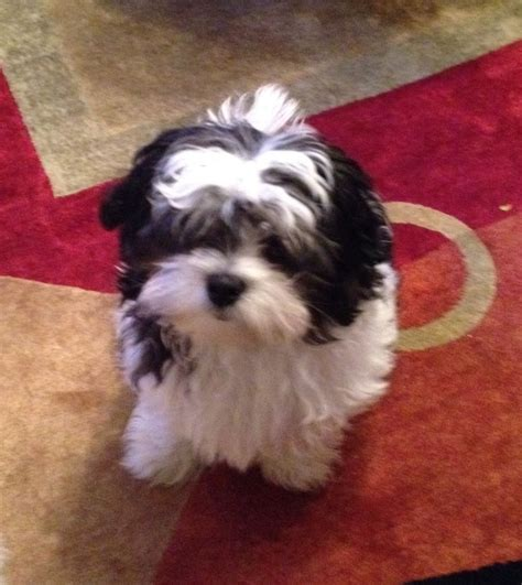 black and white maltese shih tzu shih tzu maltese mix white www imgkid the image kid has it