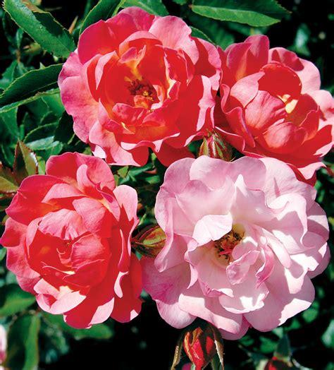J 58364 Rosa Maxi rosa maxi vita j c bakker nurseries
