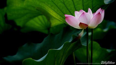 Kode Flower 41 pink lotus flower wallpaper wallpapersafari