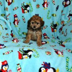 cavapoo puppies mn cavachon puppies for sale ballyhara minnesota cutie pies minnesota