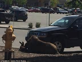 alaska moose gives birth in lowe s parking lot in anchorage daily mail online