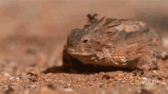 Horny Toad Meme - horned lizard eating gif find share on giphy
