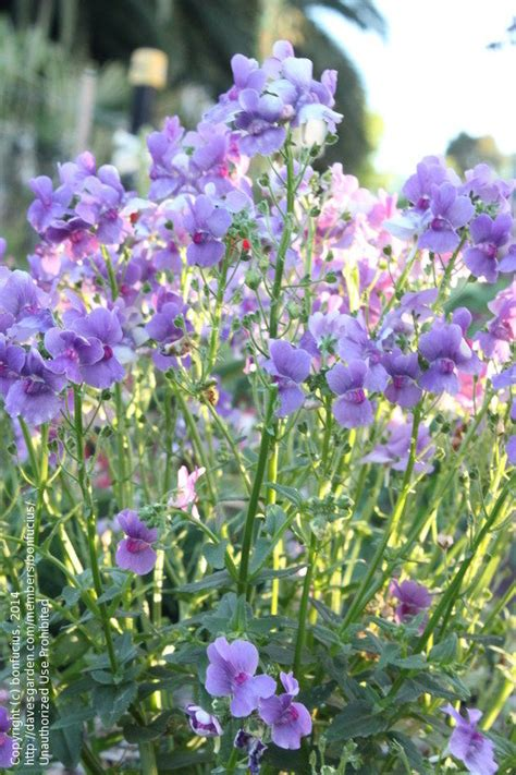 Plant Identification Purple Flowering Perennial Herb Purple Garden Flowers Identification