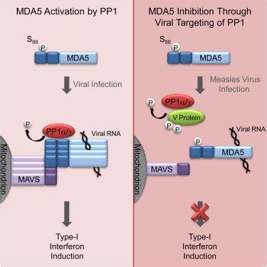 v protein paramyxovirus antagonism of the phosphatase pp1 by the measles virus v
