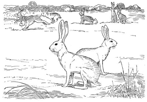 coloring pages jack rabbit free jack rabbit coloring pages