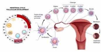 ovulation ovulation the process description amp symptoms