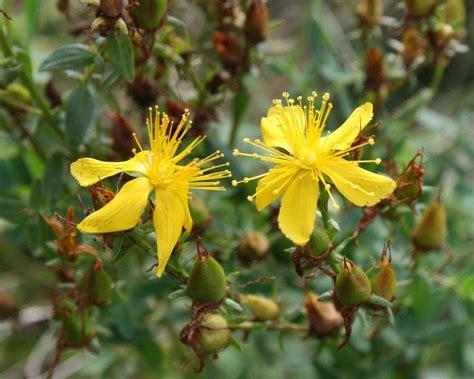 imagenes de flores medicinales plantas medicinales antidepresivas