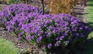 Purple Fall Aster » Home Design 2017