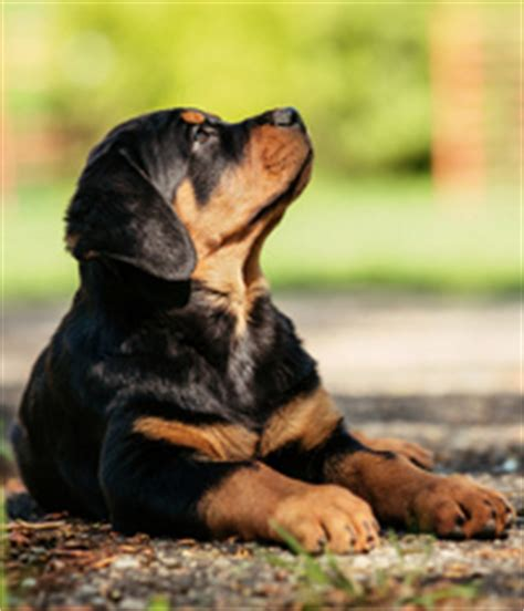 owning a rottweiler the ultimate rottweiler owners resource