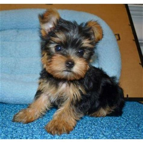 teacup yorkies for adoption in nc tiny teacup morkie memes