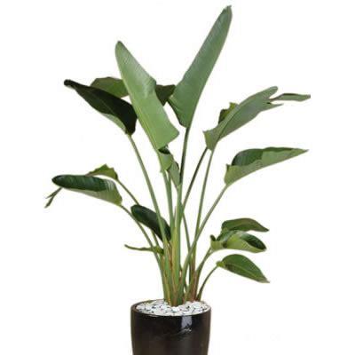 plant info giant bird  paradise indoor plant hire