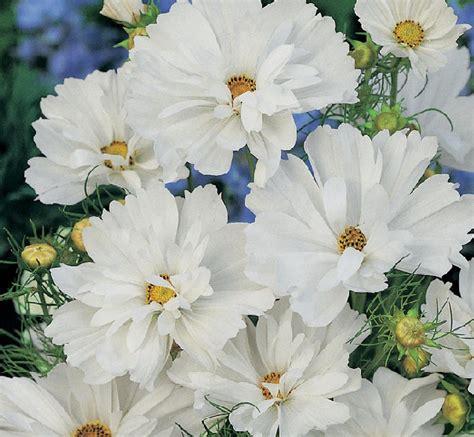 Biji Benih Bibit Bunga White Putih jual bibit benih bunga cosmos psyche white bibit bunga